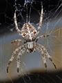 Feeding Garden Spider
