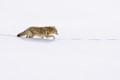 hayden valley coyote in snow