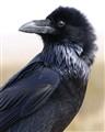 Raven Goes Fauxhawk