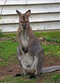 A Kangaroo at the Zoo