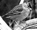Mono Bird