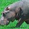 hippo & oxpecker copy