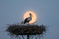 Stork in front of rising full moon