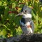 Belted Kingfisher Down the Hatch    09 28 2015   039