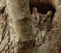 Owl in the Hollow