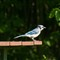 20110628_Blue_Jay_bird_picnic_table_shutter_speed_motion_115_iPad
