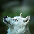 NY Wolf conservation center has 3 Ambassador wolves. This is Alawa, meaning sweet pea in Algonquin native language.