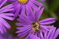 Fly on an aster