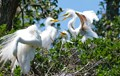 Three baby egrets trying to get moms attention and some food.
