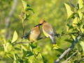 Cedar Waxwings Feeding