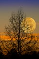 Super Moon through Sycamore tree