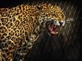 Unhappy Leopard