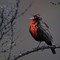 13 Long-tailed Meadowlark Sturnella loyca Loica