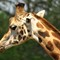 02 Giraffe