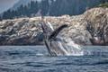 Breaching Humbpack Whale