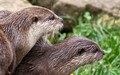 Attentive Otters