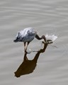 This heron does an ostrich imitation in a bay on Puget Sound.