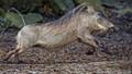 Warthog At Warp Speed