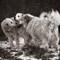 Duotone Livestock Guardian Dogs