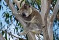 K for Koala