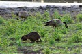 Nutria and Geese
