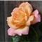 October Rose (No Crop)