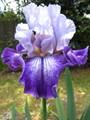 Iris, A Fragile Beauty