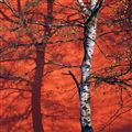 Birch & Red Wall
