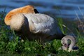 Trumpeter Swan with Cygnet