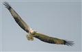 White-bellied Sea Eagle in flight