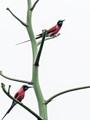 Northern Carmen Bee-eater/Merops numicus