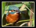 03 Kingfisher Max Zoom B Crop