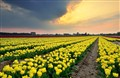 Yellow Tulip Plantation
