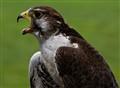 Fussy Falcon