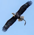 Eagle with Eel