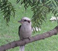 Kookaburra Kingdom - Very Happy!