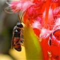 Banksia Bee