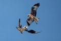 Red kites squabbling