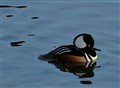 Hooded Merganser...