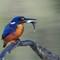 kingfisher18052020_336v2