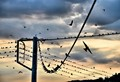 Swallows - prep for migration to Africa