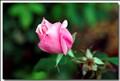 Riverwalk Pink Rose
