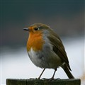 British Robin.