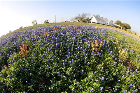2013-texas-bluebonnet-004