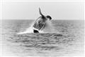 Whale's bursting breach