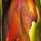EucalyptusSpotlight001a