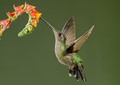 Hummingbird in flight 1