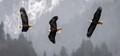 eagles chasing eagles