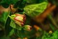 Peeping beauty,flowers just opening-Hibiscus