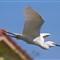 Flying _MG_1579